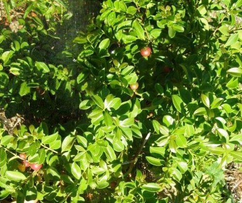 Margosa Tree Seeds Marathi