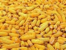 Fresh Corn , Yellow Corn , Maize , Frozen Corn,Popcorn