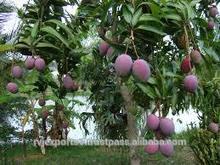 krishnagiri mango pulp