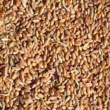Feed wheat in bulk