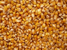 Yellow Corn (Maize)