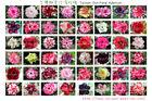 Taiwan Adenium obesum ( Desert rose) - grafted plant