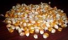 Yellow Corn Animal Feed Protein:18%
