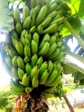 Banana, Fresh Bananas, Best Price