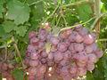 raisins frais globe rouge