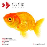 Ranchu Goldfish, Ornamental Fish, Tropical Fish
