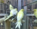 Canários ao vivo, canarios aves, canarios