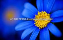 100% Natural Chamomile Oil Blue (ISO/GMP)