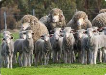 Australian Halal Spring(young) Lamb Carcass