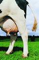 Des produits laitiers, traire les vaches, l'élevage de nouvelle zélande