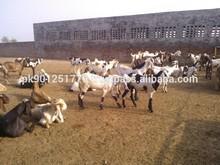 Live goat , live animals , livestock , live goat for sale
