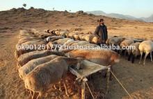 Live sheep , Bulk Sheep , Pakistani Sheep exporter
