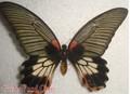 Frutos secos conservados insectos, De la mariposa