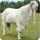 jamunapari goats