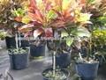 Crotons plantas