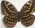 Lông nhân tạo Butterfly
