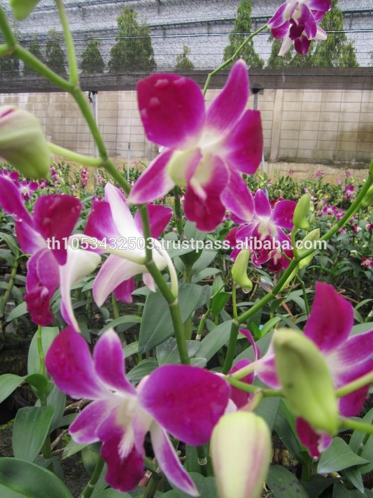 Orchids Wholesale Thailand Buy Fresh Cut Orchid Wholesale