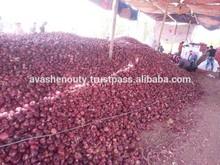 Egyptian Onion