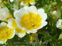 "Egg plant ""Limnanthes douglasii"" - 10 seeds"