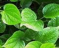 Natural nuez de betel hojas