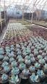 Plantes succulentes - greffé Cactus
