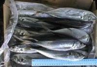 Dried and Frozen Horse Mackerel Fish/Frozen Squid/Salmon Fish/Frozen Fish