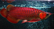 VERY HEALTHY SUPER RED AROWANA FISHES AND OTHER SPECIES OF AROWANAS AVAILABLE