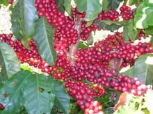 vietnam specialità robusta chicco di caffè verde