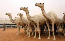 Best Vet Camels Boer Goats , Pigs and Piglets for Sale