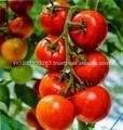 tomates fraîches en provenance du vietnam prix le moins cher