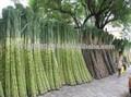 Sucre raffiné icumsa 45/icumsasucre 600-1200 brésilienne. premières vhp cassonade/sucre de stevia ra-40% 60% 80% 95