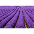 de alta calidad de semillas de lavanda para la venta