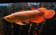 Golden Arowana Asian Arowana Red Arowana Fish For Sale