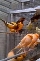 Yorkshire Canary Bird