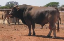 live bull cow ready for export