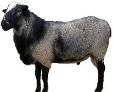 SHEEP ROMANOV
