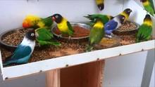 Live Canary Birds, Love Birds