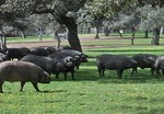Spanish Iberian Iberico Pork