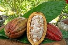 cocoa pulp