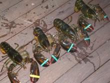 Boston Live Lobster