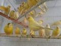 Todos os canários ao vivo; passarinhos, yorkshire, lancashire, pássaros do amor para venda