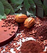 Quality organic cocoa beans from uganda