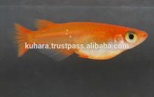 Latest and Hot-selling fish Medaka to bleed at aqua farms instead of Koi Carp