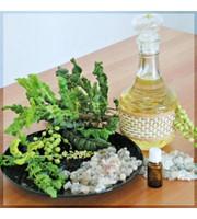 Frankincense Oil - Boswellia Sacra - Sacred Frankincense from Oman