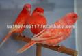 red factor canárias
