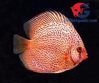 Discus Fish Breeder