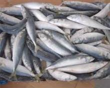 Frozen Mackerel Fish,Frozen Fishes,Best Quality Frozen Fishes