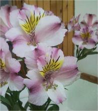 Alstrommelia Pink Bicolor Flower