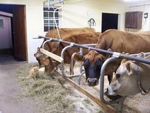 نعيش الزراعة أبقار الألبان للبيع..........