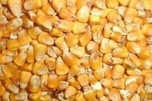 Corn, in bulk